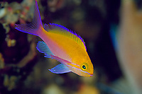 bicolor anthias, Pseudanthias bicolor, Futo, Sagami bay, Izu peninsula, Shizuoka, Japan, Pacific Ocean
