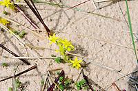 Mauerpferffer (Sedum acre) Strand bei Dzeni, Lettland, Europa