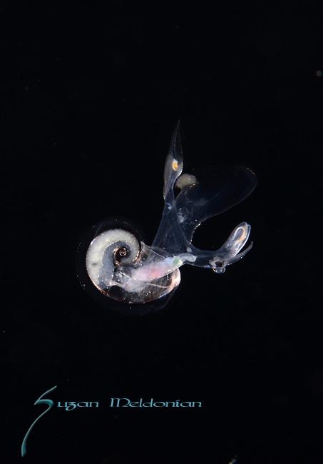 ATLANTA HETEROPOD, Transparent Atlanta peronii, a pelagic heteropod mollusk, Black Water diving, Pelagic marine life; planktonic creature; Off Riviera Beach, Fl, Gulfstream Current, South Atlantic Ocean.