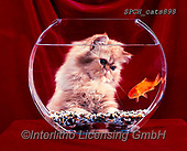 Xavier, ANIMALS, REALISTISCHE TIERE, ANIMALES REALISTICOS, cats, photos+++++,SPCHCATS898,#a#, EVERYDAY