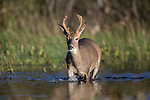 White-tailed buck walking in a stream