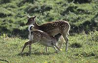Damhirsch, Dam-Hirsch, Damwild, Weibchen säugt sein Junges, Kitz, Bambi, Dam-Wild, Cervus dama, Dama dama, fallow deer