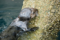 Southern sea otter, Enhydra lutris nereis, foraging on a sea wall, Monterey, California, USA, Pacific Ocean, national marine sanctuary, endangered species