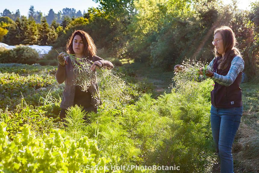 Women farmers harvesting cut flowers; No-till flower farming, Singing Frogs Farm