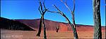 Les dunes de Sossusvlei - hautes de plus de trois cent mètres - sont les joyaux du Parc national du Namib Naukluft. Dans la cuvette asséchée de Deadvlei, des acacias pétrifiés par la soif et le vent semblent monter la garde. Namibie.The Sossusvlei, Namibia's famous highlight in the heart of the Namib Desert, is a huge clay pan, enclosed by giant sand dunes. Some of the spectacular hills of sand are, at a height of 300 metres, the highest in the world.