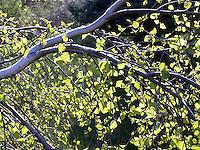 Backlit green leaves on tree branch<br />