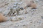 Wild snow leopard (Panthera uncia)(sometimes Uncia uncia) stalking prey over broken rocky terrain. Ladakh Range, Western Himalayas, Ladakh, India.