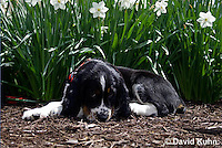 0730-0803  Tricolor English Springer Spaniel, Canis lupus familiaris © David Kuhn/Dwight Kuhn Photography.
