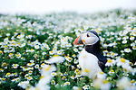 Atlantic Puffin (Fratercula arctica) in flower field, Skomer Island National Nature Reserve, Skomer Island, Pembrokeshire, Wales, United Kingdom