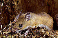 MU14-078z  White-Footed Mouse - pulling nesting material with foot -  Peromyscus leucopus