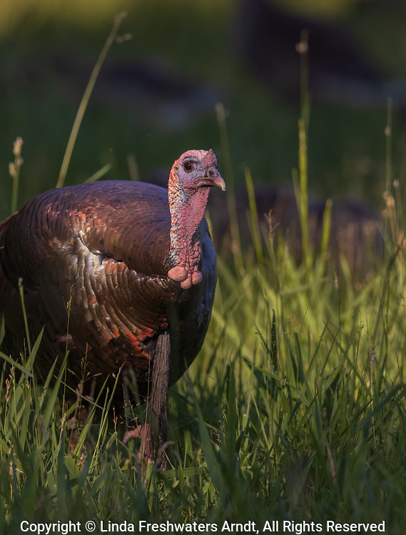Close up of a tom turkey in northern Wisconsin.