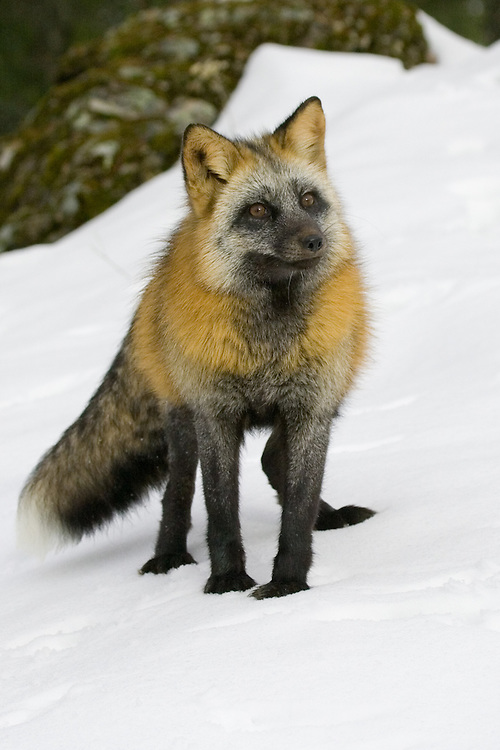 Cross fox standing on a snowy hill - CA