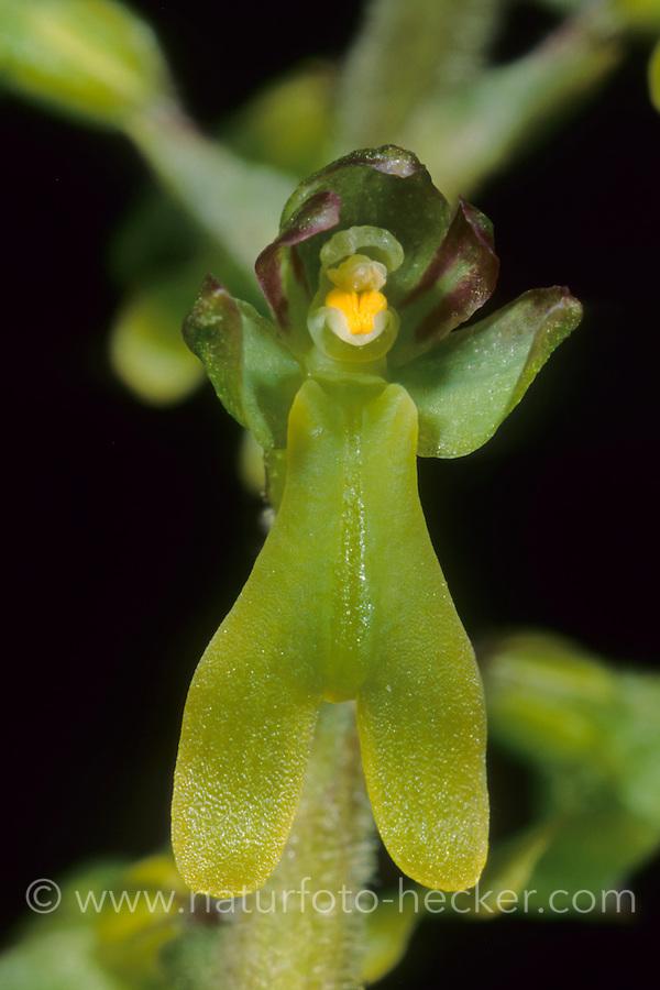 Großes Zweiblatt, Grosses Zweiblatt, Listera ovata, Neottia ovata,greater twayblade, La listère à feuilles ovales, grande listère