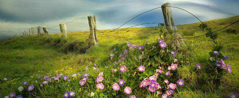 Fenceline and Morning Glory flowers. Hawaii, The Big island.