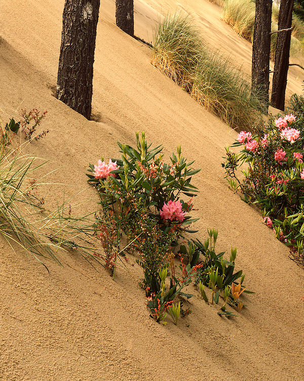 Rhodondendrons on the Siltcoos Sand Dunes; Oregon Dunes National Recreation Area, OR