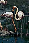 caribbean flamingos wading in pond, 2 shot, vertical