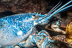 Northern Lobster blue color phase close-up of face area facing right