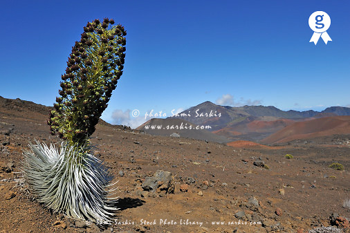 Silversword flower in the Haleakala crater, Haleakala Volcano, Maui Island, USA (Licence this image exclusively with Getty: http://www.gettyimages.com/detail/85985769 )