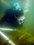 Volunteer scuba divers harvest eelgrass within 1 square meter transects off Nahant, Massachusetts.