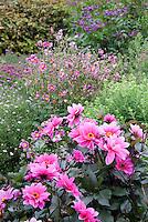 Dahlia 'Fascination' single pink flowers with dark black purple foliage & Anemone hupehensis var. japonica 'Splendens' in garden use in autumn fall scene view . Waterlily dahlia, WL