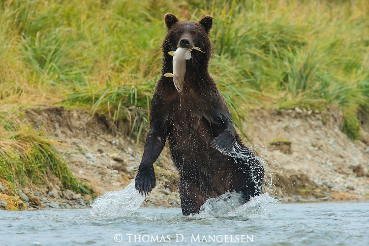 A Grizzly Bear stands up to check its surroundings after catching a salmon in the river, in Katmai National Park, Alaska.
