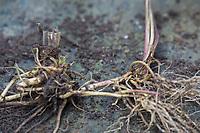 Baldrian-Wurzeln, Baldrian-Wurzeln, Baldrianwurzeln, Wurzelernte, Wurzel-Ernte, Wurzel, Wurzeln, Echter Baldrian, Baldrian, Großer Baldrian, Echter Arznei-Baldrian, Arzneibaldrian, Katzenwurzel, Valeriana officinalis, Common Valerian, garden valerian, root, roots, La Valériane officinale, Valériane des collines, Valériane à petites feuilles