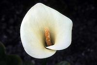 Fiori. Flowers. Calla. Zantedeschia......