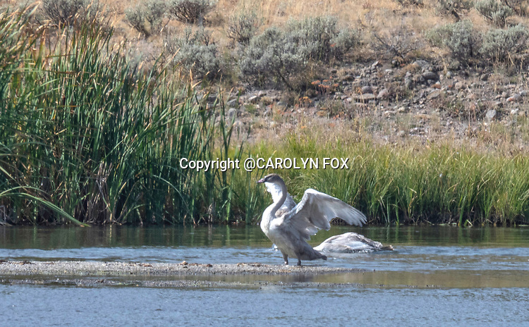 Trumpeter swans are on the Madison River in Yellowstone.