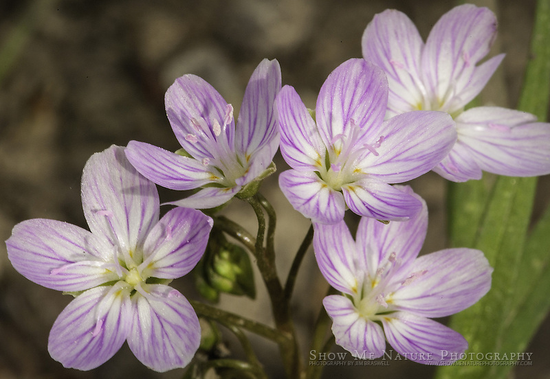Spring Beauty wildflowers, growing in a Missouri woodland