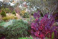 Shrubs Coffeeberry, Rhamnus californica 'Mound San Bruno', smoke tree Cotinus coggygria under Oak tree edging David Fross' California meadow garden