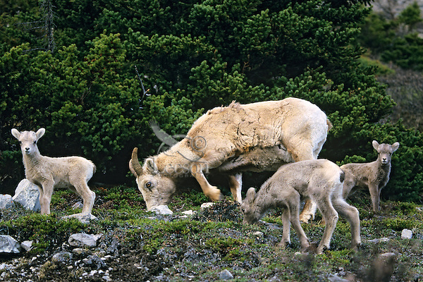 Bighorn sheep ewe and lambs (Ovis canadensis)