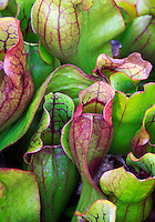 Pitcher plants, Superior National Forest, Minnesota