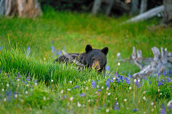 Black Bear feeding on showy sedge in subalpine meadow (surrounded by lupine and bistort).  Pacific Northwest.  Summer.
