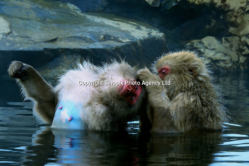 The Snow Monkeys of Jigokudani groom next to a hot spring in a valley known as Hell's Valley, north of Nagano city, Nagano Prefecture Japan. The Japanese Snow Monkeys live in the icy Japanese highlands, farther north than any other monkey in the world. With their double layer of thick fur, that resembles a furry hooded top on the younger members, they are able to withstand temperatures as low as of minus 15 degrees centigrade.   According to an official at the wild-life park, the bathing ritual of the Snow Monkey's did not begin until 1964, when a young monkey jumped into the hot pool chasing chestnuts, liked the feel, and stayed to bathe.  Many other youngsters followed and were soon followed by the adults.  With the freezing winter the naturally heated bathes were soon adopted as part of monkey life.  The Japanese Macaque is an extremely intelligent animal that has adapted to it's surroundings all over the country. While the Snow Monkeys bathe in the hot springs, other macaques are know to use salt water to flavor roots and others have learned to separate grain from mud by mixing it with water. .