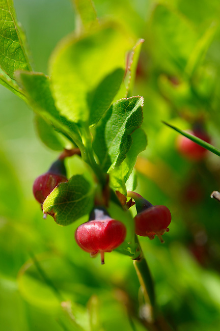 Alpine Bilberry or Whortleberry ( Vaccinium myrtillus ). Bernese Alps, Switzerland