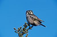Northern Hawk Owl, Surnia ulula, adult on perch, Kenai Penninsula, Alaska, USA, March 2000
