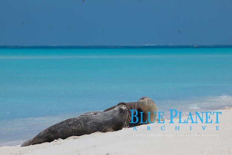 Hawaiian monk seals, Neomonachus schauinslandi, Critically Endangered endemic species, Sand Island, Midway, Atoll, Midway Atoll National Wildlife Refuge, Papahanaumokuakea Marine National Monument, Northwest Hawaiian Islands (Central North Pacific Ocean)