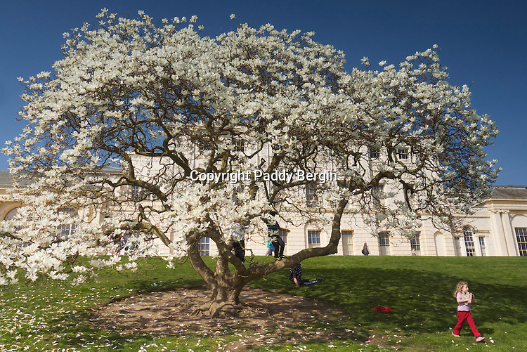 Large Magnolia tree in full bloom in front of Kenwood Hall, Hampstead Heath, London.<br /> <br /> Stock Photo by Paddy Bergin