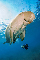 Dugong, Sea Cow, breathing on the surface, scuba diver, Egypt, Red Sea, Indian Ocean