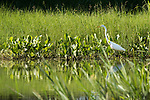 Damon, Texas; a great egret standing on the edge of the slough, fishing for food in late afternoon sunlight