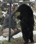 Animal Ark co-founder Aaron Hiibel greets Gracie, a 5-year-old North American Black Bear at the wildlife refuge in north Reno, Nev, on Tuesday, May 17, 2011. Gracie was born in captivity and confiscated by wildlife officials after she was found living with people in a travel trailer near Elko. She has been living at the Animal Ark since 2006..Photo by Cathleen Allison