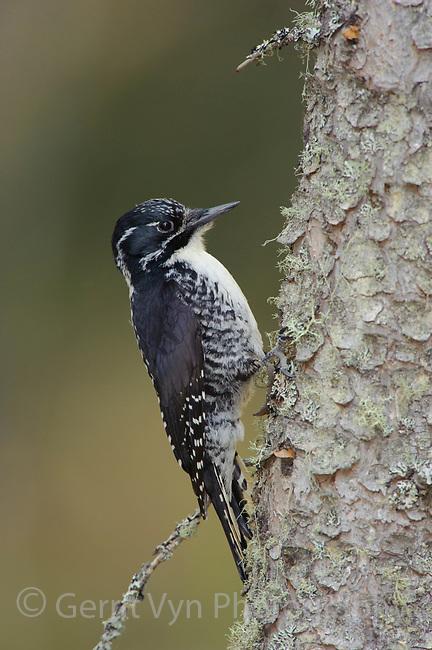 Adult female American Three-toed Woodpecker (Picoides dorsalis) on a spruce. Alberta, Canada. May.