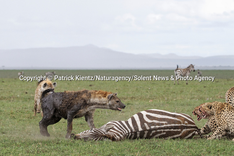 NOTE FOR ONLINE:  MAXIMUM OF 10 IMAGES TO BE USED FROM SET - UNLESS OTHERWISE AGREED.<br /> <br /> Sequence 12 of 16:  Cheetahs are forced to sit and watch hyenas eat their hard-fought kill after they arrived late and claimed it for their own.  The unlucky coalition of five cheetahs spent 30 minutes hunting and killing the zebra at the Masai Mara National Reserve, Kenya.<br /> <br /> But, just as the group of siblings were about to eat their prey, opportunistic hyenas arrived and claimed the carcass as their own. SEE OUR COPY FOR DETAILS.<br /> <br /> Please byline: Patrick Kientz/Naturagency/Solent News<br /> <br /> © Patrick Kientz/Naturagency/Solent News & Photo Agency<br /> UK +44 (0) 2380 458800