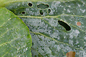 Powdery mildew on cabbage leaves, late September.