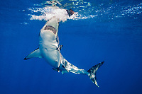 great white shark, Carcharodon carcharias, attacking on a bait fish, Guadalupe Island, Baja California, Mexico, Pacific Ocean