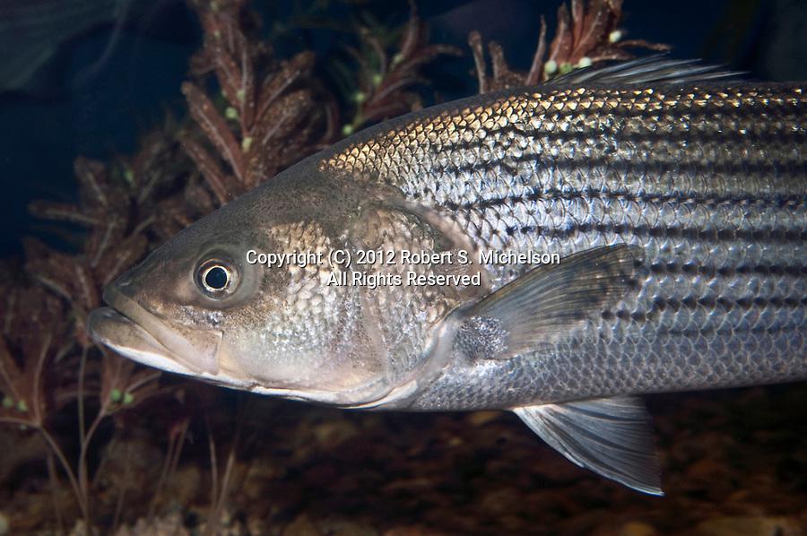 Striped Bass close-up facing left