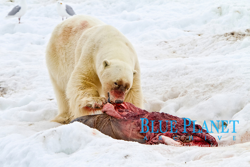 A well-scarred old male polar bear, Ursus maritimus, on a fresh bearded seal kill near Monacobreen Glacier, Spitsbergen in the Svalbard Archipelago, Norway, Atlantic Ocean, polar bear, Ursus maritimus