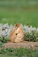 Black-tailed Prairie Dogs (Cynomys ludovicianus)--younger pup greets adult.
