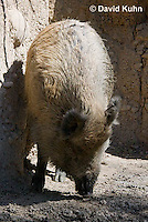 0113-1101  Wild boar (Wild Pig or Feral Pig), Sus scrofa  © David Kuhn/Dwight Kuhn Photography