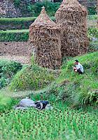 Matang, a Gejia Village in Guizhou, China.  A Farmer Wayching his Water Buffalo Bathe in Rice Paddy Mud.